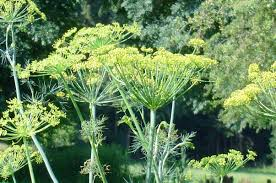 dill growing and harvest information growing herbs