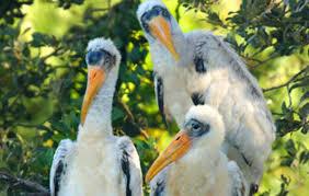 florida wood wood stork audubon florida