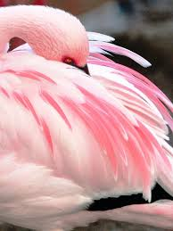 flamingo pink is so much pretty on the real bird than the cy