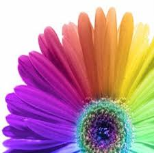 gerbera daisies gerbera purple