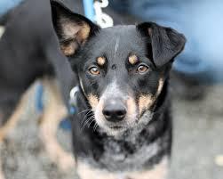 1 year old australian shepherd juliet a sweet 2 year old shepherd blue heeler mix dog rescued in