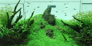 Aquascape Takashi Amano Choosing Plants For Aquascape Nature Style Aquascaper