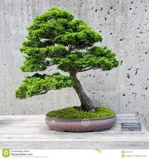 cypress bonsai tree stock photo image 64143796