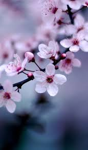 cherry blossom flowers cherry blossoms flower cherry blossoms and flowers