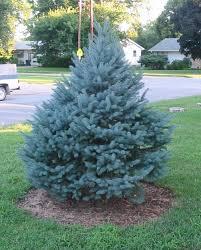 blue spruce colorado blue spruce