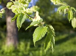 crucial pointers that help in correct identification of the elm tree