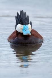 95 best waterfowl images on pinterest mandarin duck animals and