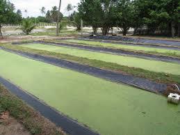 tilapia farming how to build duckweed ponds