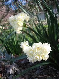 Fragrant Plants Marcelle Nankervis Top 10 Fragrant Plants For Spring