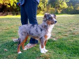 australian shepherd spaniel mix raising a mini aussie mini aussie coat transitions maintenance