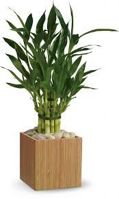 best 25 bamboo plants ideas on pinterest bamboo garden growing