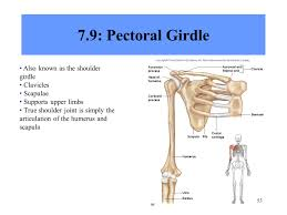 Anatomy Of The Shoulder Girdle Anatomy And Physiology Ppt Download