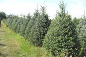 live christmas trees live christmas trees run tree farm
