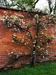 how to grow a pear tree against a wall hgtv
