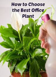Best Plant For Office Desk How To Choose The Best Office Plant Http Ambius How To