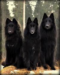 owning a belgian sheepdog belgian shepard dogs beautiful man u0027s best friend pinterest
