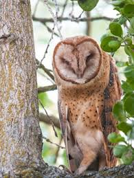 Where Does The Barn Owl Live Barn Owl Identification All About Birds Cornell Lab Of Ornithology
