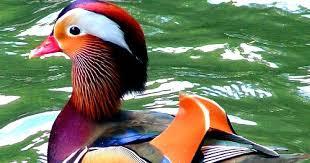 afghan hound mandarin mandarin duck fun animals wiki videos pictures stories