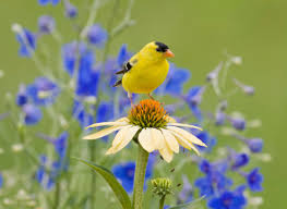 enjoy these fun facts about goldfinches
