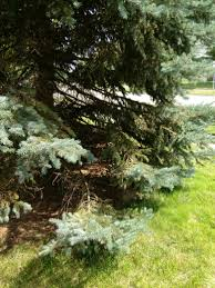 large evergreen lower branches drooping and dying ask an expert