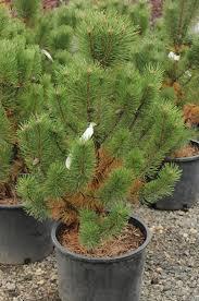 pine mugo tannenbaum creekside tree nursery
