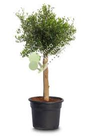 olive tree olea europaea florida buy olive tree plants
