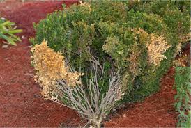 a case of the boxwood blues fungal disease damaging plants home