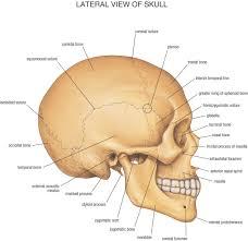 Human Anatomy Skull Bones Study Of The Human Skull Google Search Sketching Drawings