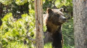 mammals yellowstone national park u s national park service