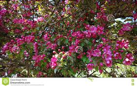 tree with purple flowers malus purpurea apple tree purple flowers stock photo image