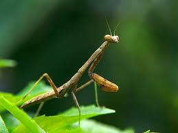 carolina praying mantis outlaw garden