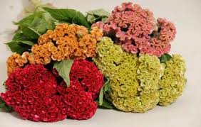 coxcomb flower coxcomb seasons floral home gift