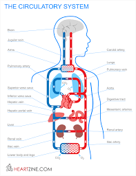 human anatomy chart page 138 of 202 pictures of human anatomy body