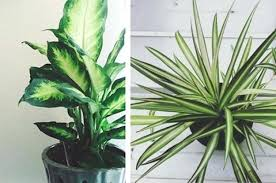 big house plants big indoor plants common house plants safe for
