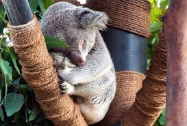 free picture koala wood animals leaf