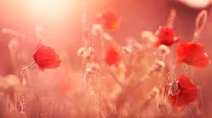 hd poppy field in the sunset wallpaper download free 149816