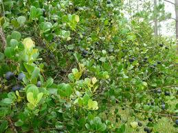 native plant society florida florida native plant society blog cocoplum u0027s are bursting out all