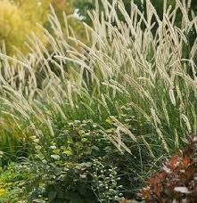 488 best grasses images on ornamental grasses garden