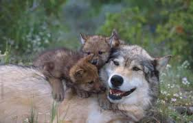 wolf with cubs by silverfox 71 on deviantart