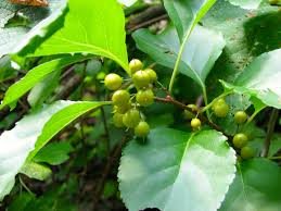 escape of the invasives top six invasive plant species in the forests for maine u0027s future fresh from the woods journal aliens