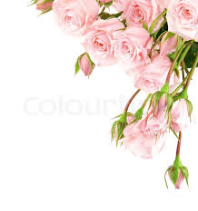 pink and roses fresh pink roses border isolated on white background stock photo