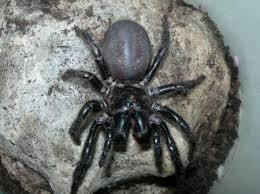 hadronyche versuta genus hadronyche funnel web spider hadronyche