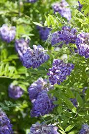 plants native to illinois amethyst falls american wisteria monrovia amethyst falls