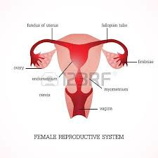 Anatomy Of Female Reproductive System Human Female Reproductive System Images U0026 Stock Pictures Royalty