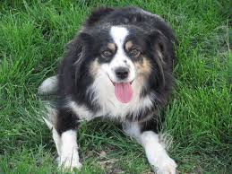 south dakota australian shepherd rescue sd kennels miniature australian shepherds