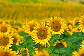 foto wallpaper bunga matahari wallpaper bunga matahari kuning bidang biji bunga matahari
