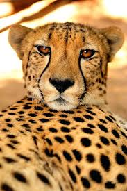 superb interesting what color is a cheetah print coloring pages