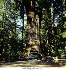 Tree Chandelier Chandelier Tree Redwood Stock Photos U0026 Chandelier Tree Redwood