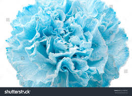 blue carnations light blue and white carnation free wiring diagrams