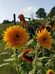 teddy sunflowers teddy sunflowers merryheartcrafts